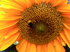 IMG_0629sunflower